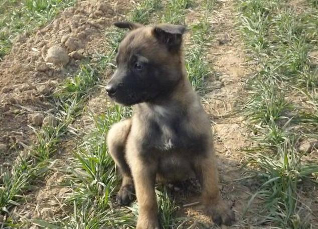 两个月小马犬