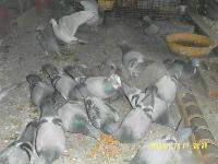 出售公棚信鴿