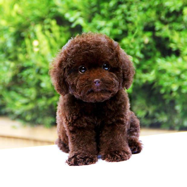求购泰迪小犬
