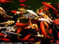 出售各类观赏鱼、鱼缸、鱼缸装饰品