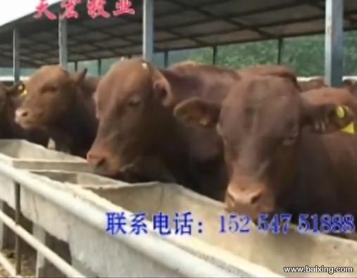 肉牛犊天鸿牧业