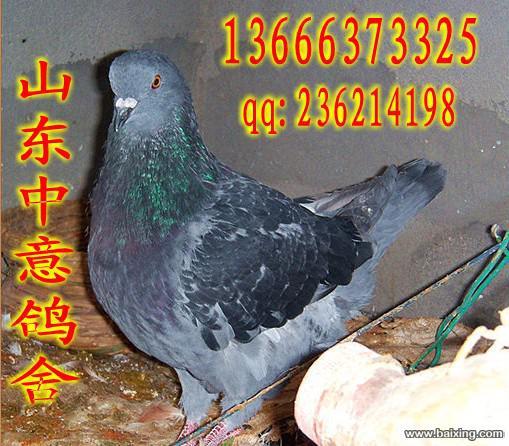 供应元宝鸽,观赏鸽,淑女鸽价格(图)