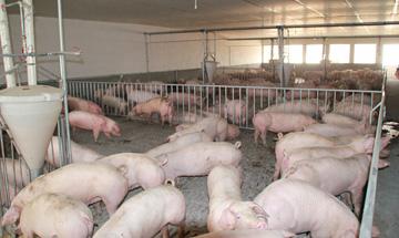 種豬價格,杜洛克種豬圖片,二元美系母豬價格