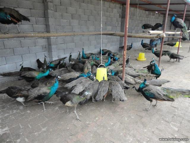 买孔雀的这里有去年存栏的孔雀要卖