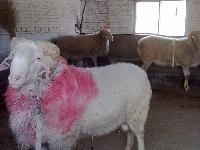 小尾寒羊  波尔山羊