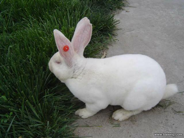 獭兔肉兔的养殖场在那?
