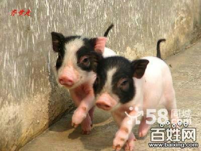 长期提供有可爱的巴马小香猪