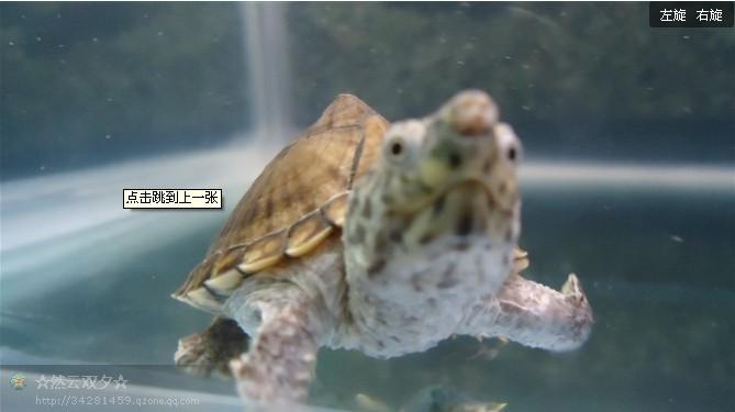 剃刀水龟手掌大小