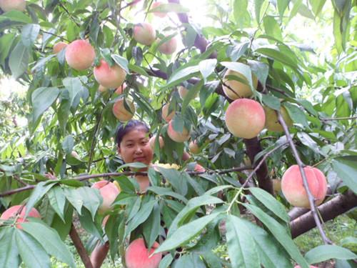 濟寧市金鄉縣中秋紅蜜桃優質桃樹苗出售