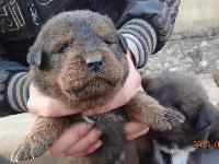 藏獒寶寶,歡迎上門看狗或打包