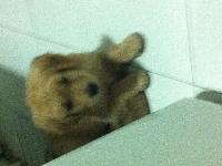 3月龄金毛幼犬出售。