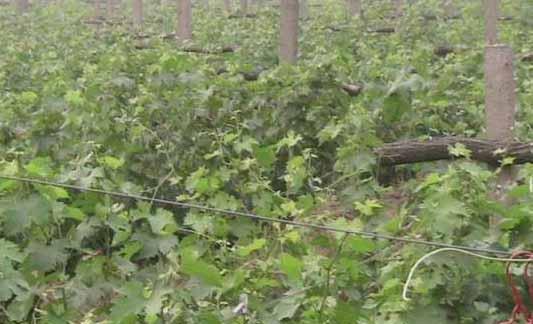各种葡萄苗出售
