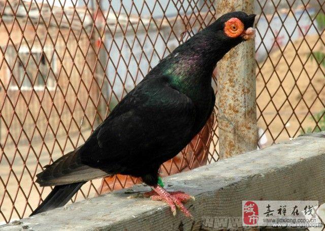 供应种鸽观赏鸽