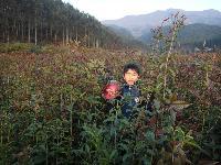 自产桂花,香椿、紫薇一二年苗