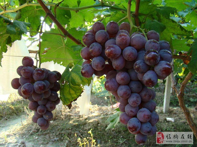 臨朐優質大顆粒巨峰葡萄代理購銷