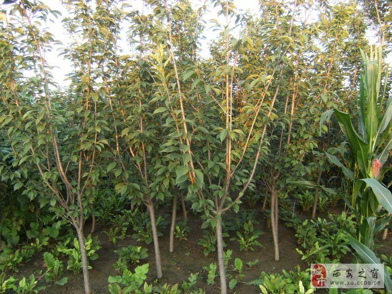 農戶 大量出售1米高紅葉櫻花