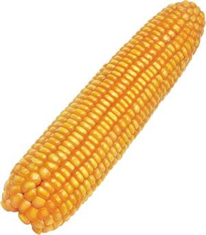 公司直銷玉米種子 奧美336-山西鑫農奧利種業公司