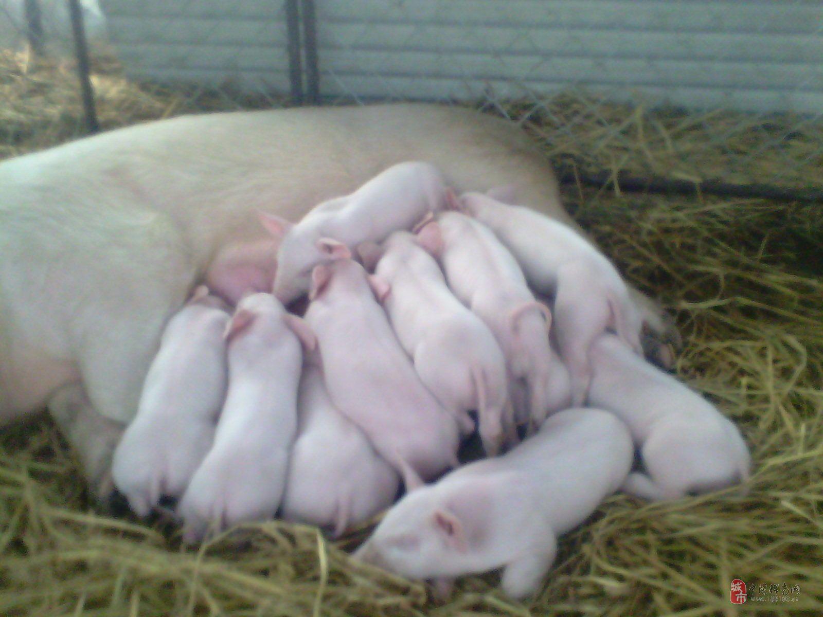 长年出售仔猪二元母猪