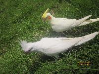 玄鳳鸚鵡。。。。