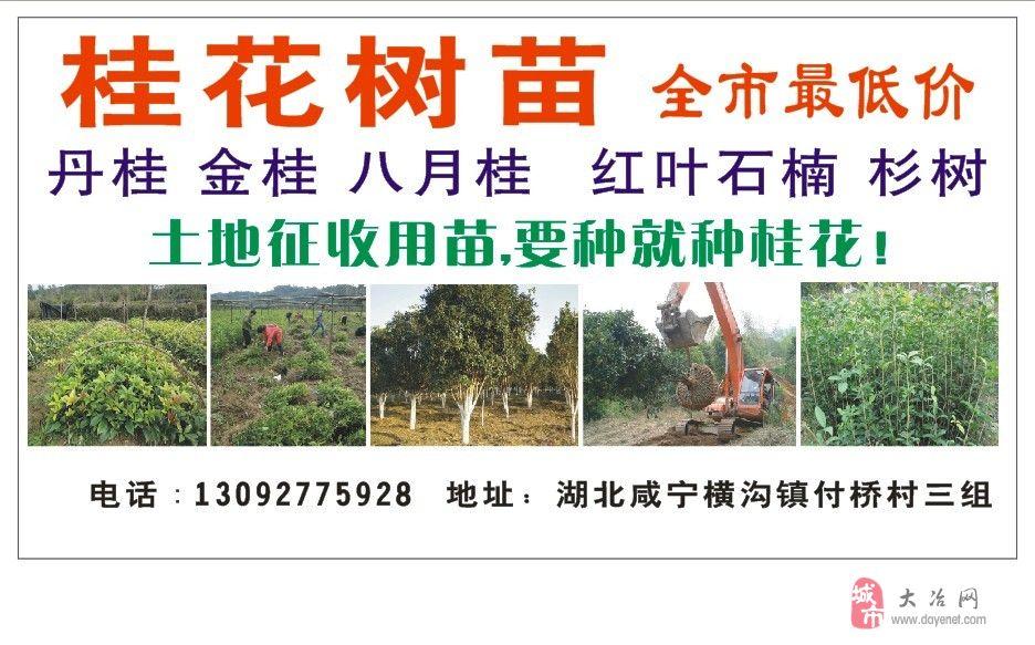桂花树苗大量出售,全市最低价