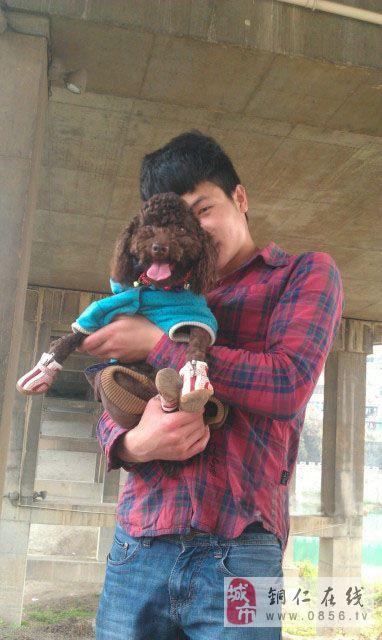 铜仁市碧江区急售一岁泰迪犬