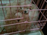 出售金毛幼犬5只35天