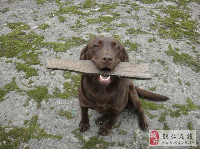 �~仁市碧江�^出售家�B拉布拉多幼犬