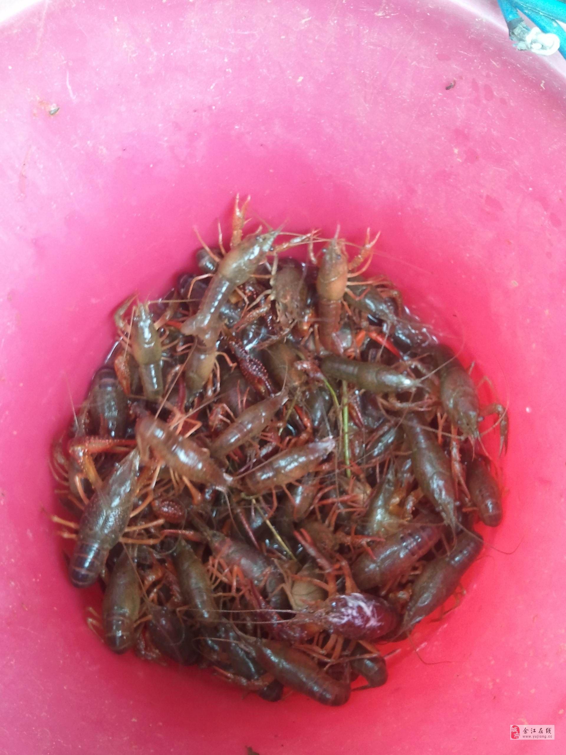收购小龙虾幼苗