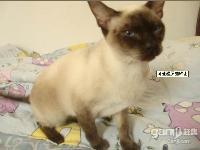 可愛暹羅貓