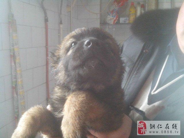 铜仁市碧江区出售高加索幼犬
