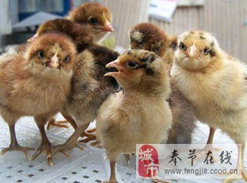 奉节左氏禽业为广大养殖户提供优质土鸡苗、鸭苗、鹅苗