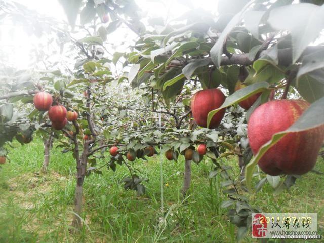 中国红花酥梨