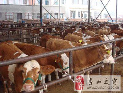 出售優質黃牛