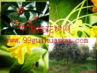 咸宁桂花苗木比其他树有哪些优势2.