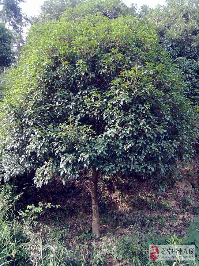 选桂花树品种就选湖北咸宁金桂花树[质量好]