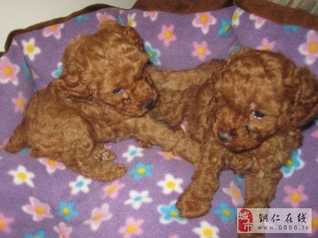铜仁市碧江区出售家养贵宾犬