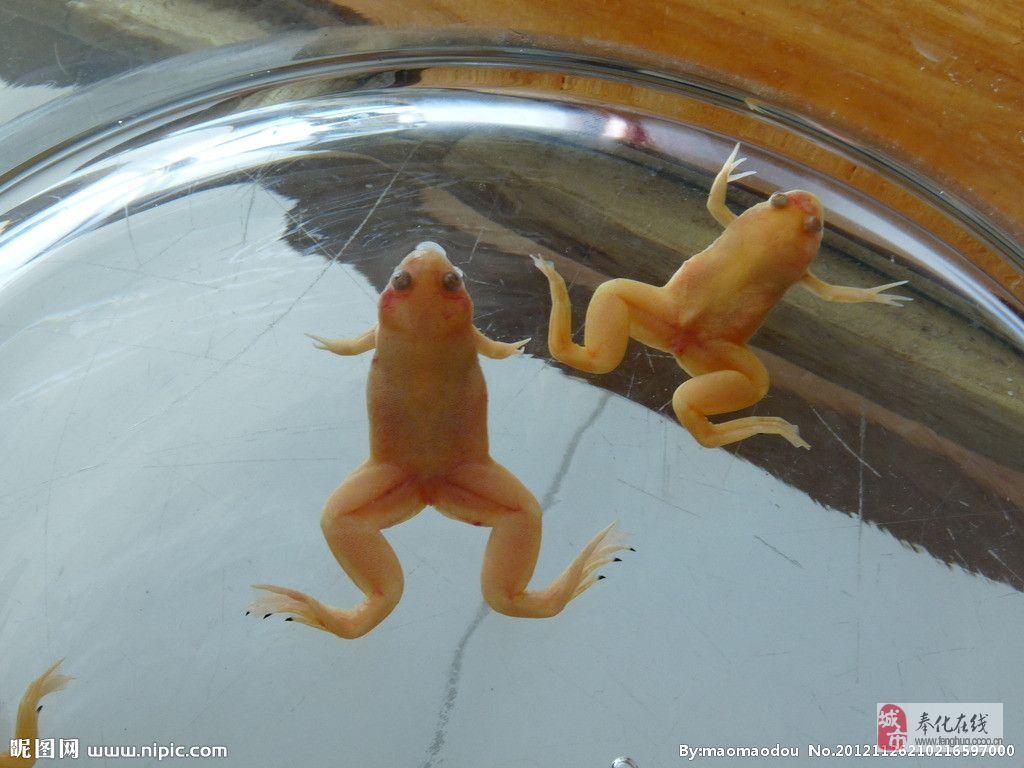 口袋犬六角龙鱼小金蛙