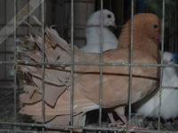 出售觀賞鴿孔雀鴿