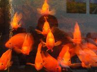 20条自家养大个血鹦鹉鱼打包出售