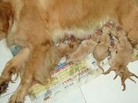 出售一个月金毛幼犬,公母都有,可上门看狗,诚心小议