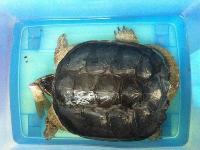 亚搏体育app27CM的杂小鳄龟一只,已开食可优惠