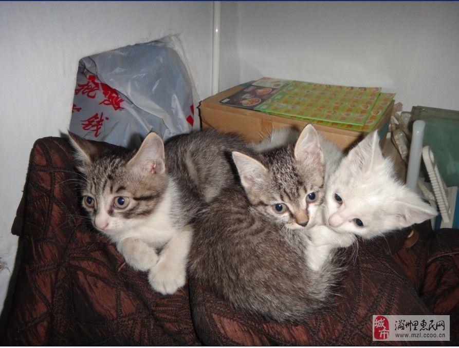 欲寻求爱猫人士领养可爱小猫