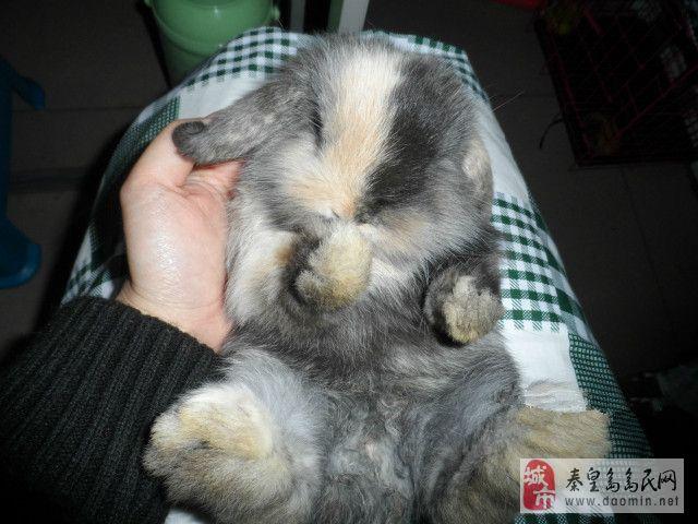 可爱的垂耳兔两个月大了出售