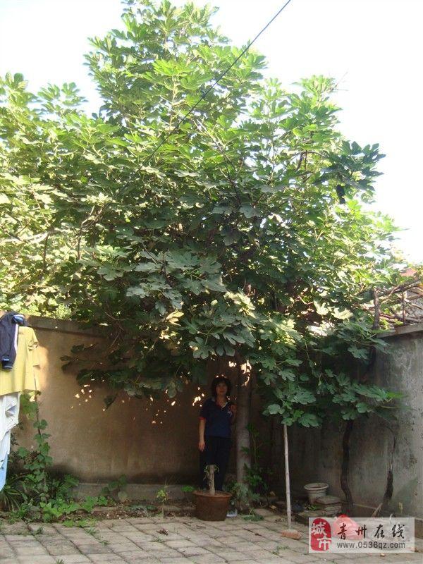 20年大无花果树出售