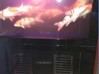 出售日本进口景鲤天网水族鱼缸