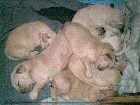 出售金毛幼犬,品种纯价格低,包窝便宜