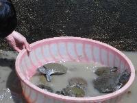 【出售】本人出售养生甲鱼多只