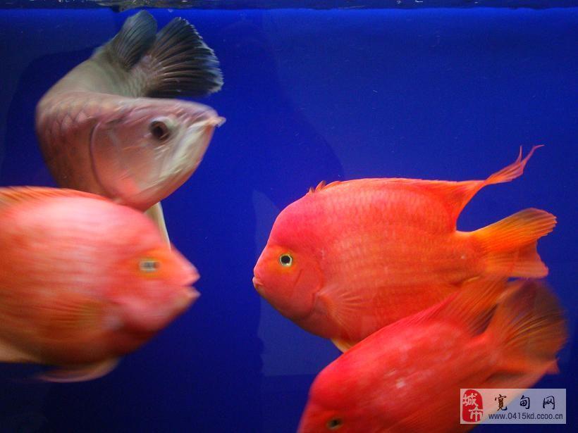 鱼50cm财神金刚鹦鹉鱼-财神鱼与鹦鹉鱼 红财神鱼与鹦鹉鱼区别 财神图片