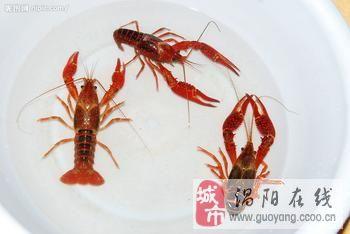 大量批发生龙虾,个大肉肥