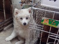 自家养的白色银狐犬